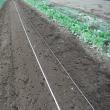 キャベツとブロッコリーを定植。