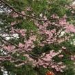 高幡不動尊の「河津桜」