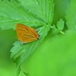 ウラナミアカシジミ・アカシジミのほか~3種の蝶たちの綺麗な姿を・・・