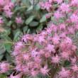 ヒダカミセバヤの花は