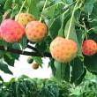 イチゴみたいな木の実