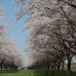 櫻には青空が一番!