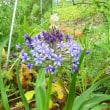 シラ―・ペルビアナ  ~kガーデンの花たち