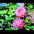 10/21 お天気で見たどこかのバラ園