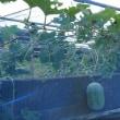 空飛ぶ野菜?