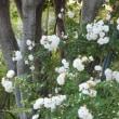 晩春のバラたち
