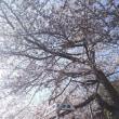2018こんぴらさん裏参道桜満開近し