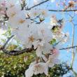 桜シーズン到来(・∀・)