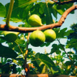 畑レポート #キュウリ #オクラ #サツマイモ #菊芋 #いちじく などなどなどなど