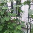 いんげん豆収穫