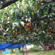 梨狩りと琵琶湖