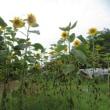8月 盛夏の畑