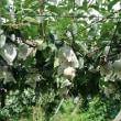 寒川町特産品「寒川の梨」美味しい幸水の出荷がピークを迎えています