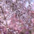 ●倶利伽羅不動寺・西之坊鳳凰殿 枝垂れ桜 開花し始めの藤 八重桜 芝桜 シャクナゲ