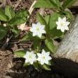 入笠山の小さな花