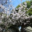 早咲きの・彼岸桜