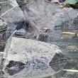 ダイビングして水浴び:ヒヨドリ