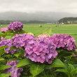紫陽花からの加波山