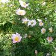 ハコネサンショウバラがきれいです。