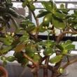ブログ262 ベランダの観葉植物の避寒移動