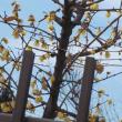 リハビリの送迎車は季節の花々が見られるチャンス。 蠟梅がこんなに見事に咲いている。ここは何処?