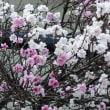 アンズの花咲く小道☆ そういえば、去年の風景と違うのは!?