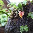 ミヤマムギランが咲きました