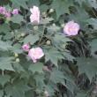 色が変わる酔芙蓉の花