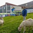 今年もおたる水族館に羊がやって来た!
