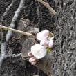 近所の桜 3/19