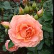 薔薇の季節 2018