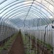 今日もトマト植え