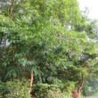 栗(Japanese chestnut)の実もなっている。 県立三木山森林公園
