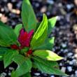 今朝の庭の花