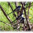 わが団地の初冬の風景(^^♪白いほっぺたに黒いネクタイの可愛い小鳥「シジュウカラ(四十雀)」 実は「エナガ」でした