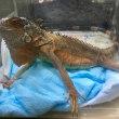 レッドイグアナ頭胴長約20cm