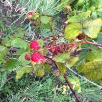 《家庭菜園》ラズベリー【晩秋の収穫】