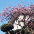 身近に咲いた河津桜と枝垂れ梅