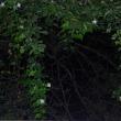 四谷の階段(キカラスウリ)