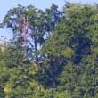 2018.06.04(月)の日誌(お山に鷹探し#18-25-01:ハチクマの飛翔)