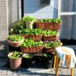 吉野川の冬の梅花藻、住吉町の猫とサクラソウ、少しずつ春に向かってます…