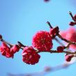 春の使者‥④