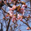 信松院の河津桜開花 2018.2.24