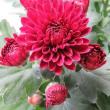 菊(Florist's daisy) Chrysanthemum morifolium You're a wonderful friend