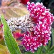 西洋たんぽぽの花に霜(初霜・初氷)