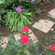 八月のバラ*葡萄の棚計画