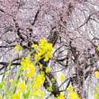 扶桑の名もなき桜