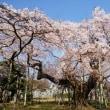 樹齢400年般若院枝垂れ桜ツーリング