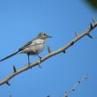 日々是探鳥~イチョウの木に留まるハクセキレイ...part 204