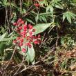 栂池の秋色 ③ ナナカマドの実